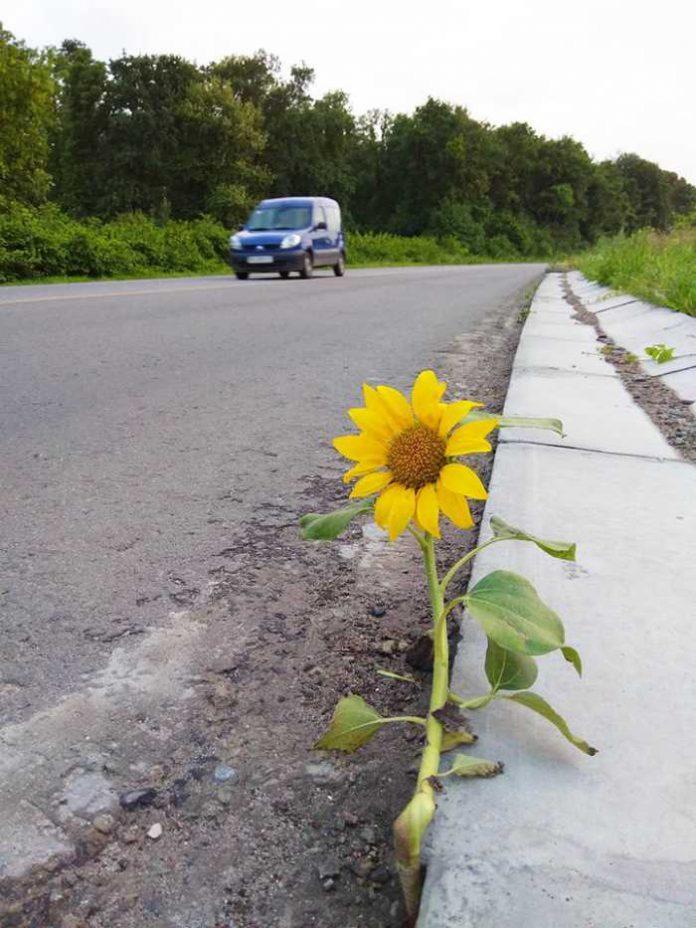 На Львівщині на трасі виріс соняшник